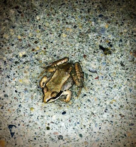 so much rain brings frogs Duck Lake, Saskatchewan Canada