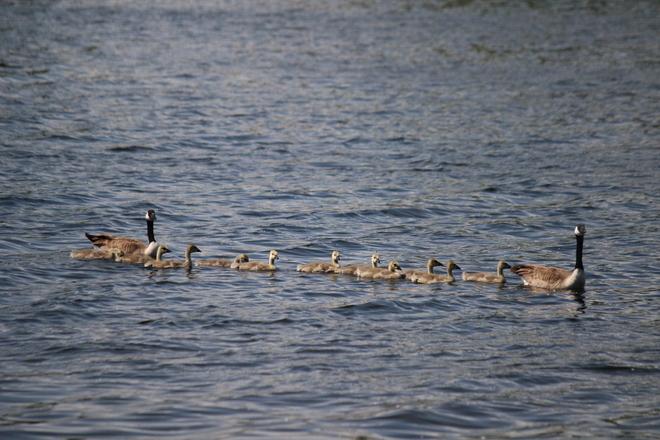 All Geese in a Row Portage La Prairie, Manitoba Canada