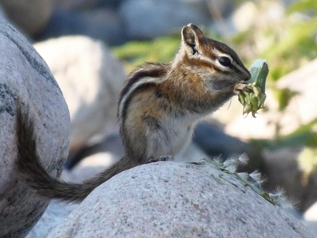 Chipmunk Summer Beaver, Ontario Canada
