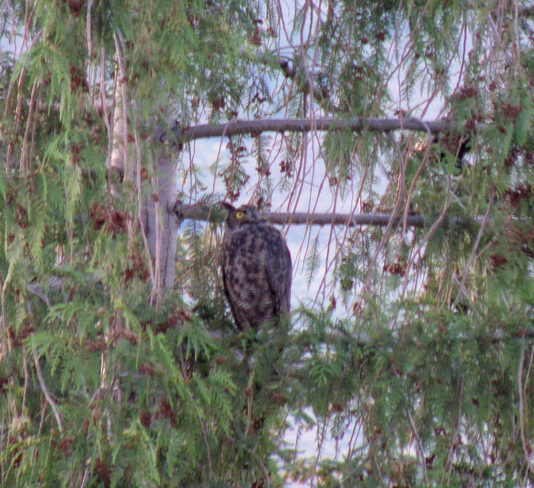 great horned owl Kamloops, British Columbia Canada