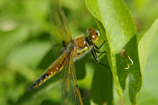 Dragonfly Christopher Lake, Saskatchewan Canada