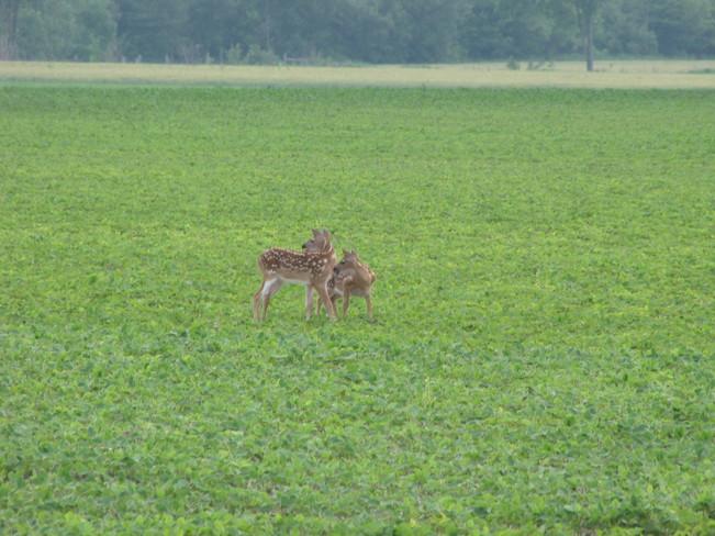 twin fawns Wallaceburg, Ontario Canada