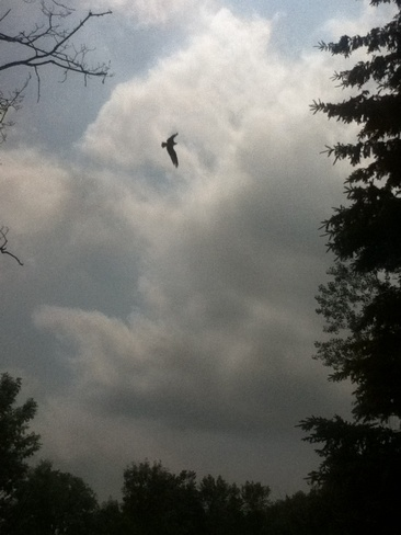 Osprey Centreville (not available), Ontario Canada