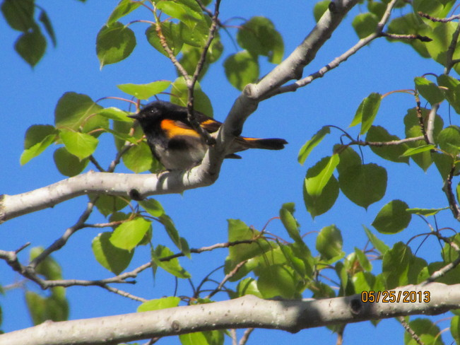 Male American Redstart Sault Ste. Marie, Ontario Canada