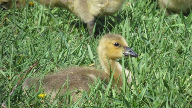 baby geese Springside, Saskatchewan Canada