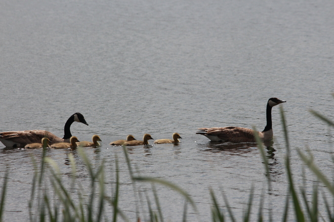 family of geese Springside, Saskatchewan Canada