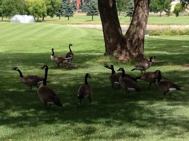 Geese seeking shade! Medicine Hat, Alberta Canada