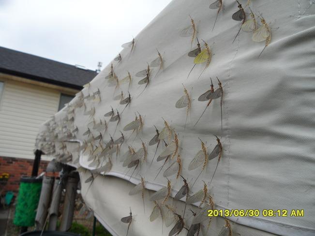 Fish or shadfly Tecumseh, Ontario Canada