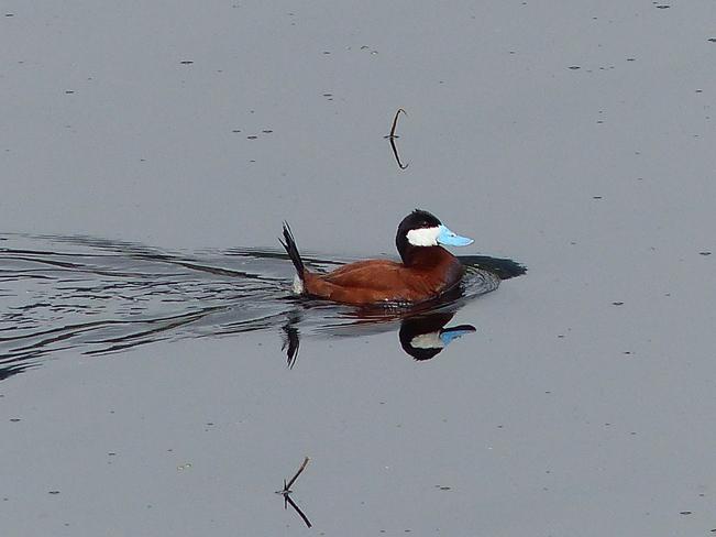 Ruddy duck Grand Forks, British Columbia Canada