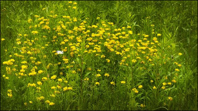 Near Esten Rd., a whole bunch of yellow wild flowers.. Elliot Lake, Ontario Canada