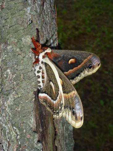 butterfly visitor Kinburn, Ontario Canada