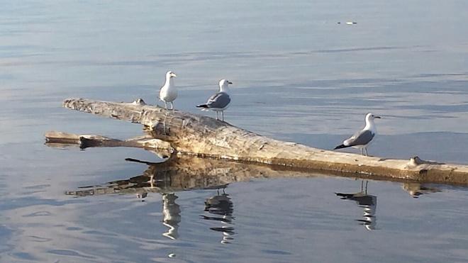 birds on a log on the lake Slave Lake, Alberta Canada