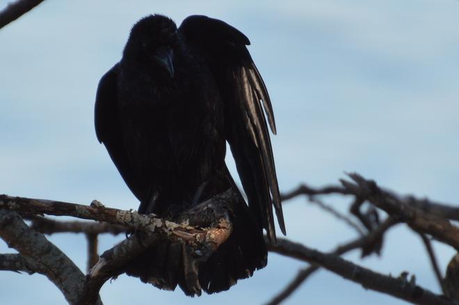 Crow Victoria, British Columbia Canada
