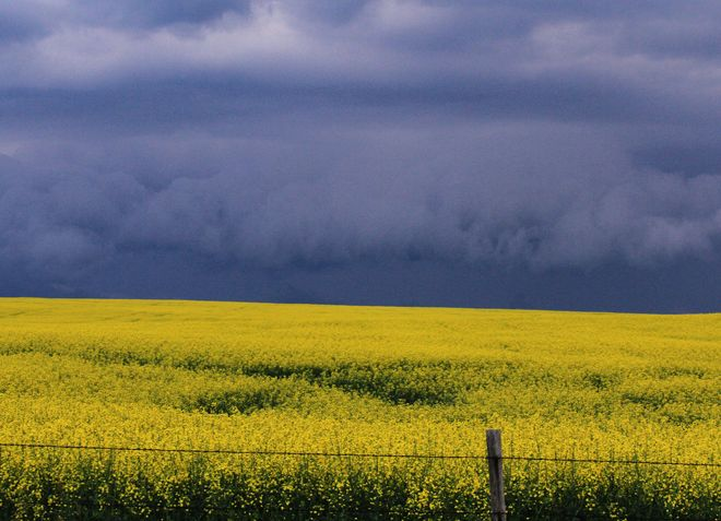 storm clouds on canola Brooks, Alberta Canada