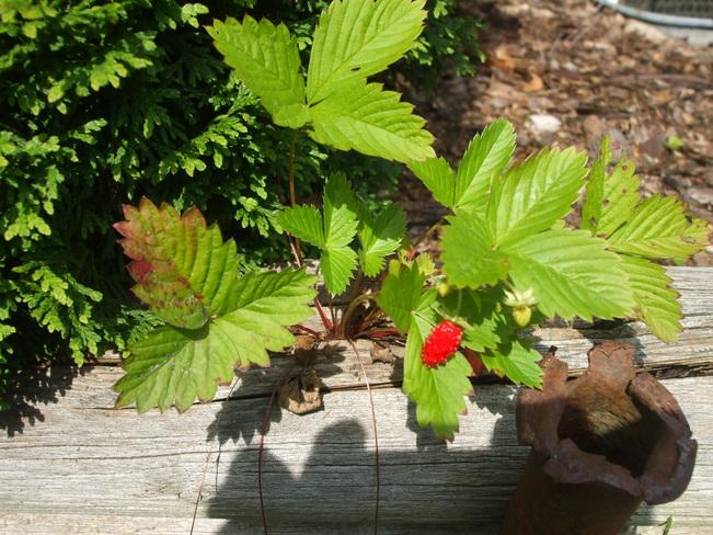 wild strawberry plant Apple Hill, Ontario Canada