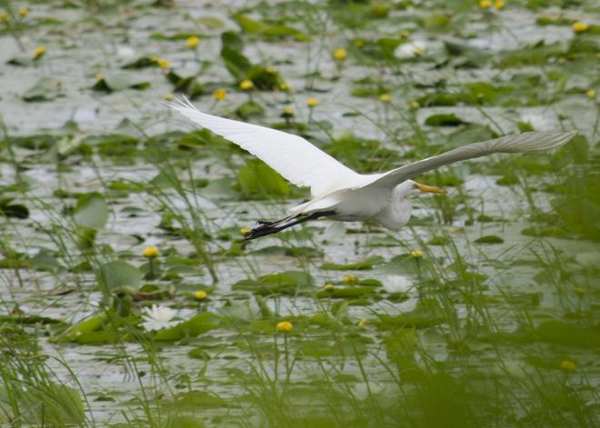 Great White Egret Brighton, Ontario Canada