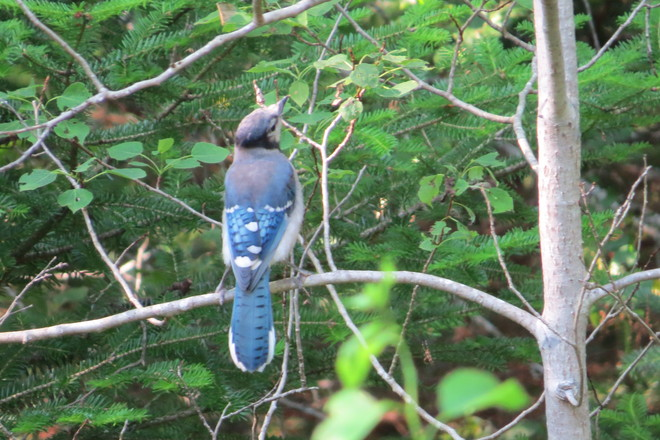 Blue Jay (Cyanocitta cristata) Chester, Nova Scotia Canada