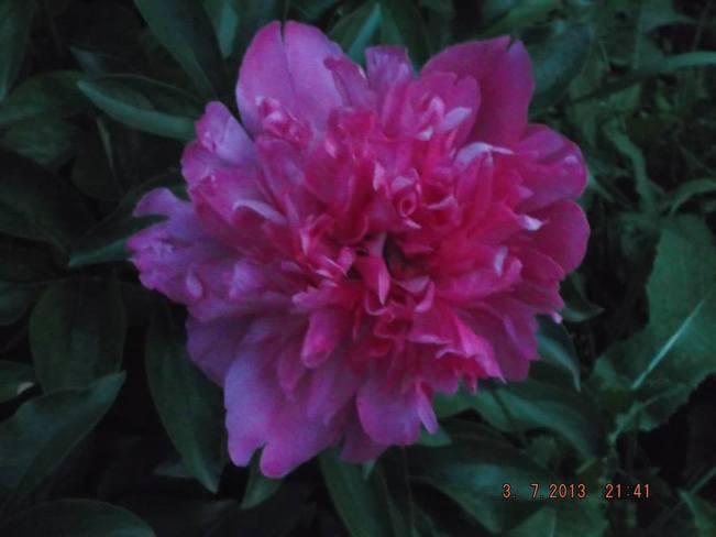 Pink Peony Saskatoon, Saskatchewan Canada