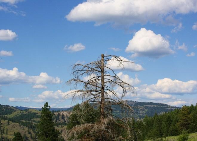 Old dead tree Rock Creek, British Columbia Canada