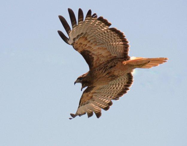 Red-tailed Screaming Hawk Richmond, British Columbia Canada