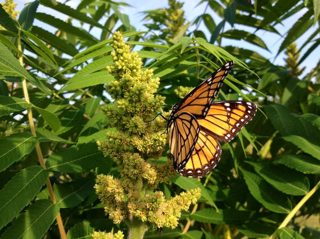Gorgeous Butterfly Beresford, New Brunswick Canada