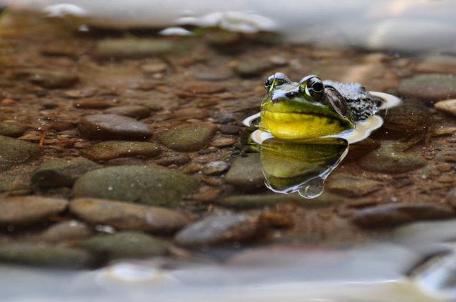 Frog Under Dock Janetville, Ontario Canada