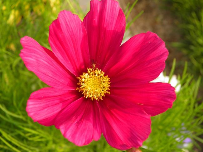 Pink Cosmos Bonnyville, Alberta Canada