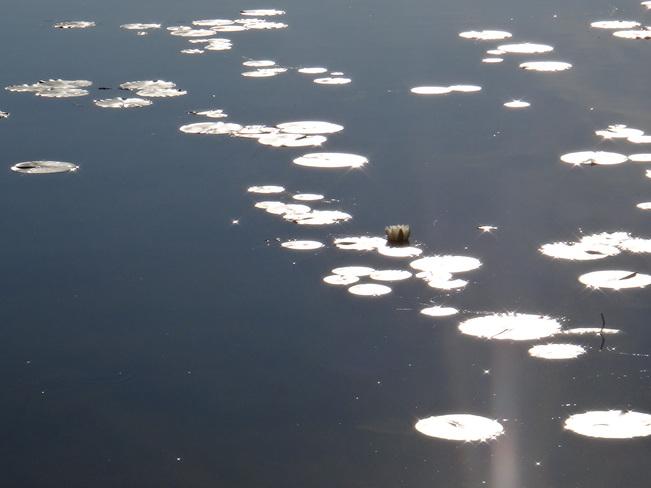 water lily Clifford, Ontario Canada
