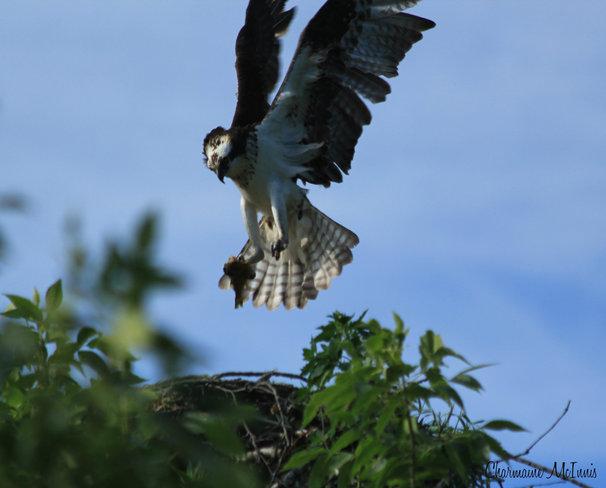 Osprey landing Grafton, New Brunswick Canada