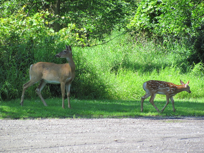 Doe and fawn Ingleside, Ontario Canada