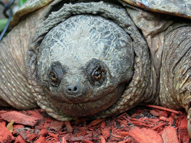 turtle Kanata, Ontario Canada