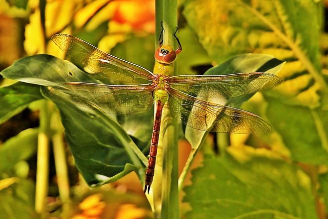 Dragonfly Surrey, British Columbia Canada