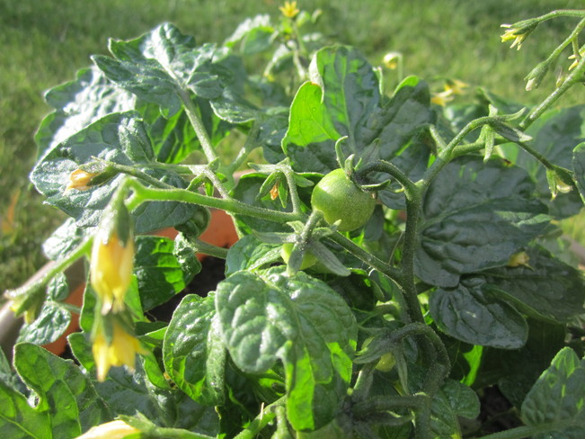 Tomatoes Vanderhoof, British Columbia Canada