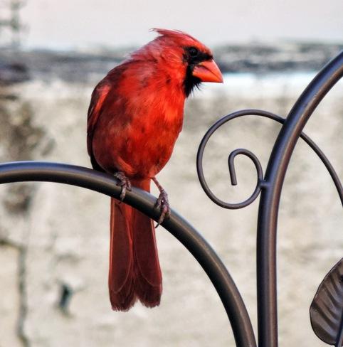 Cardinal plutôt présent Charlesbourg, Quebec Canada