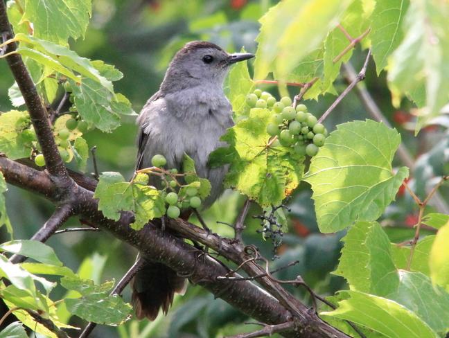 Grey Catbird Fergus, Ontario Canada