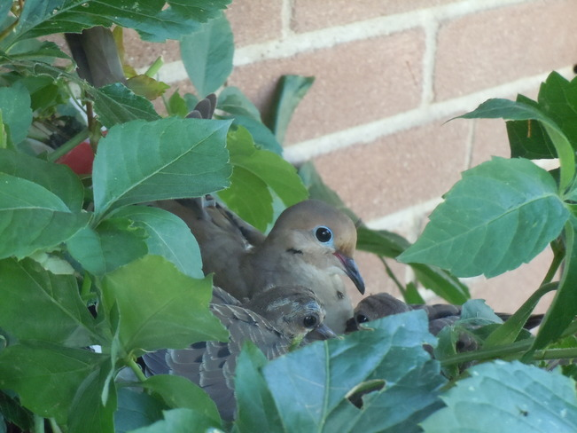Mother Dove protection... Brockville, Ontario Canada
