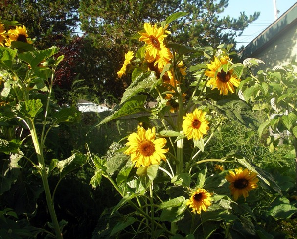 sunflowers Parksville, British Columbia Canada