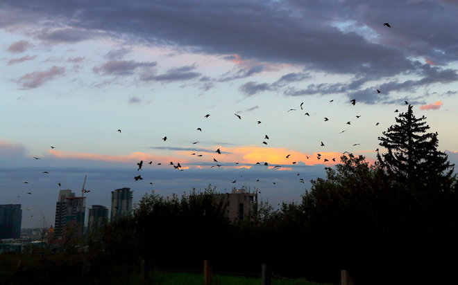 Crow gathering Calgary, Alberta Canada