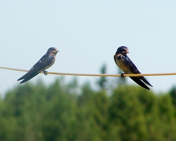 Birds on a wire Sackville, New Brunswick Canada