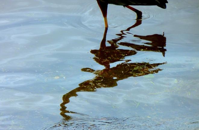 Heron Reflection Lachine, Quebec Canada