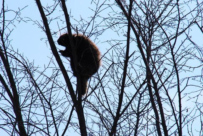 Porcupine high in the Sky! Hilliardton, Ontario Canada