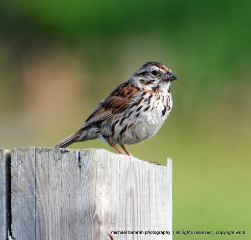Song Sparrow Brooklin, Ontario Canada