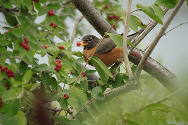 Bird eating cherry LaSalle, Quebec Canada