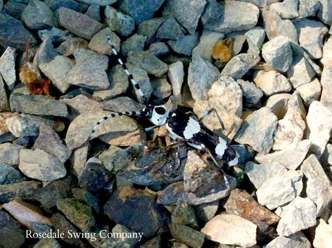 Rosalia Funebris (Banded alder borer) Chilliwack, British Columbia Canada