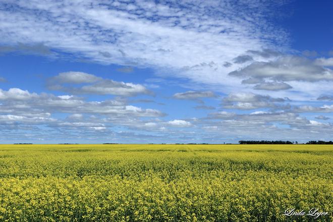 A Sea Of Yellow Carman, Manitoba Canada