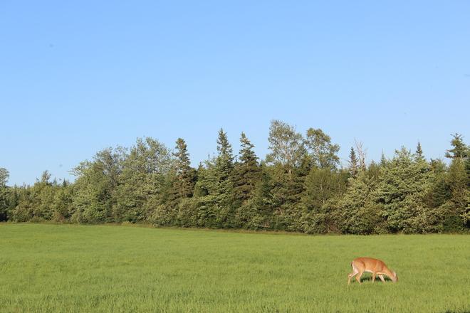 Deer Stewiacke, Nova Scotia Canada