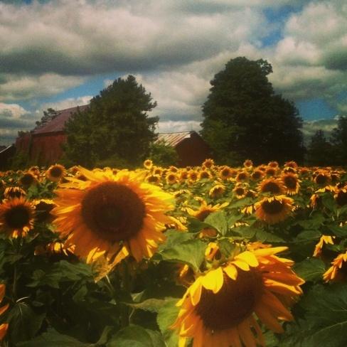Fields of Sunflowers Freelton, Ontario Canada
