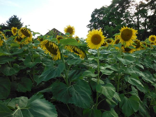 beautiful sunflowers Flamborough, Ontario Canada