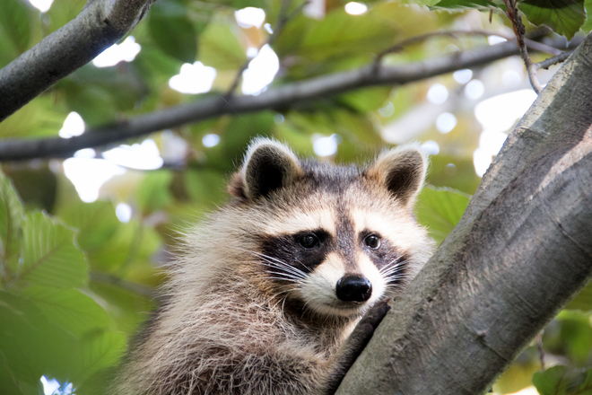 Little raccoon in tree Toronto, Ontario Canada