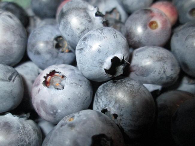 Blueberries! Sussex, New Brunswick Canada